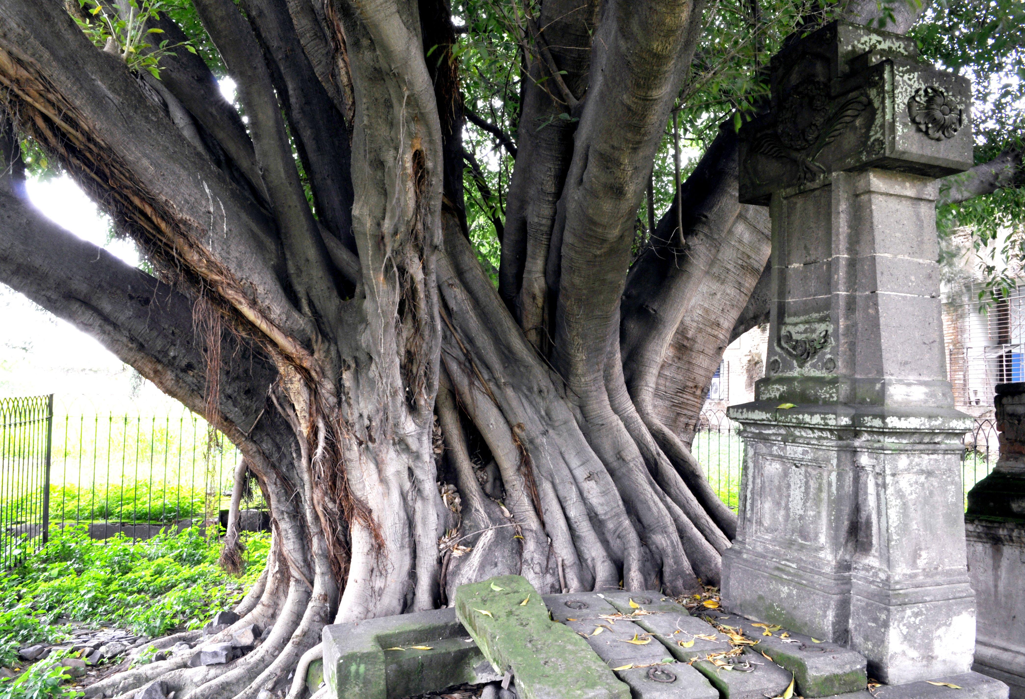 Leyenda del Árbol del Vampiro en el Panteón de Belén